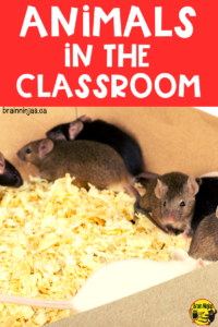 Do you have classroom pets? We don't. Come hear some hilarious stories why we don't keep classroom pets.